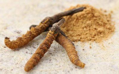 Cordyceps sinensis: Poklad zo starovekej Číny