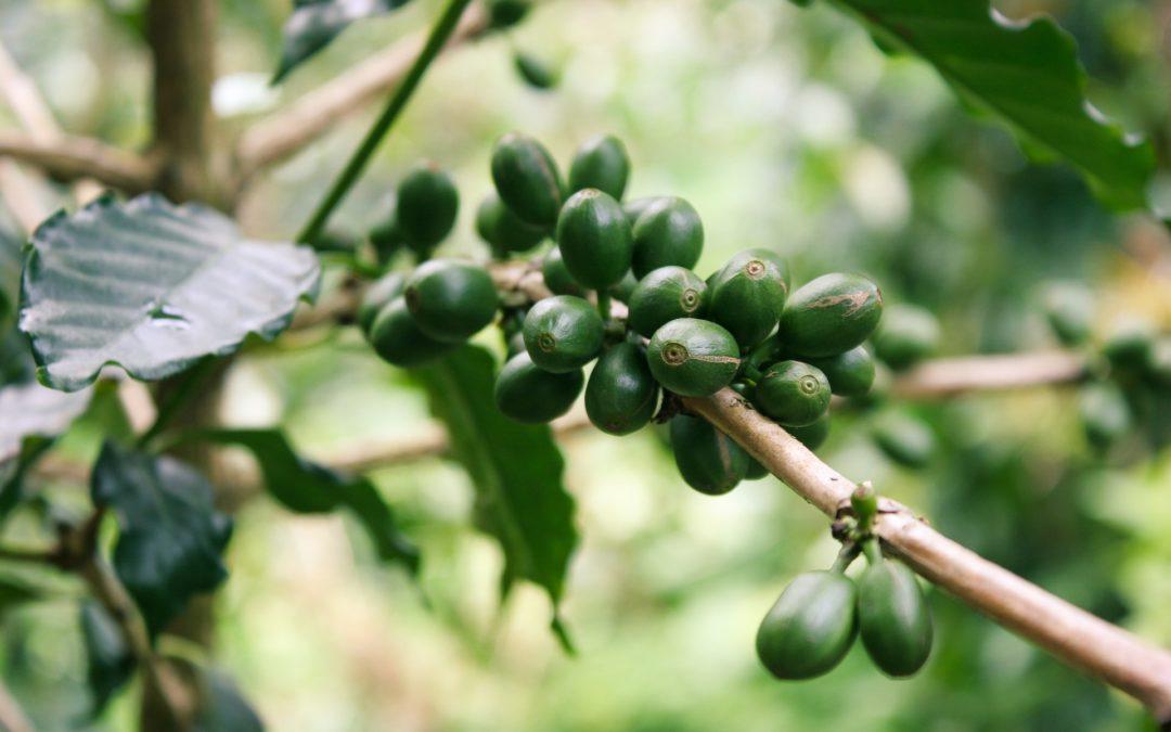 Na čo si dať pozor pri zelenej káve?