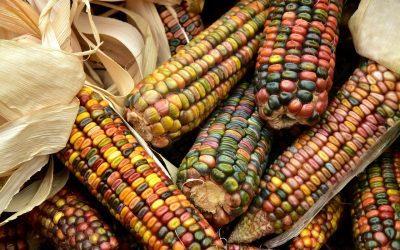 Kukuričný olej ako jeden z najpoužívanejších na svete